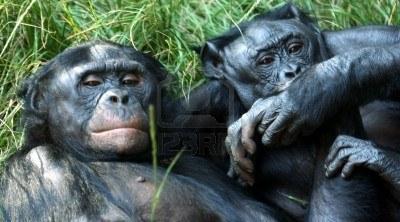 5649669-un-couple-de-bonobo-chimpanze-tenant-les-mains-et-pieds-allonge-dans-l-39-herbe